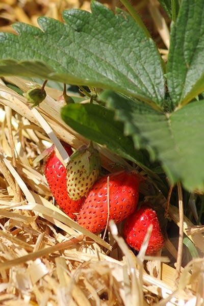 Fraises - Petits fruits rouges du verger Le Petit Lérot